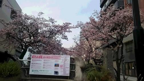 あたみ桜1