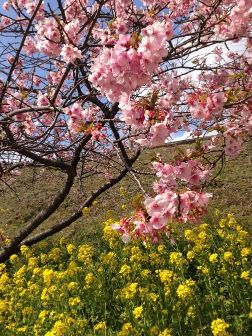 桜のピンクと菜の花の黄色