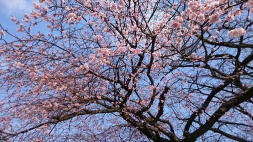伊東公園の大寒桜 (H28年2月28日撮影)
