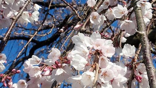 20160327しだれ桜横アップ