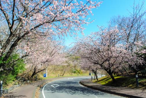 伊豆高原 大寒桜H28.3.3撮影④