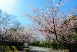 伊豆高原 大寒桜H28.3.3撮影①