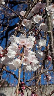 20160327しだれ桜増縦アップ