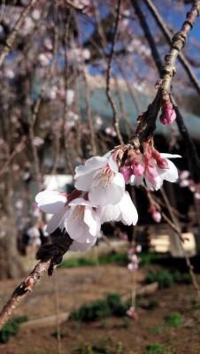 20160327しだれ桜アップたて