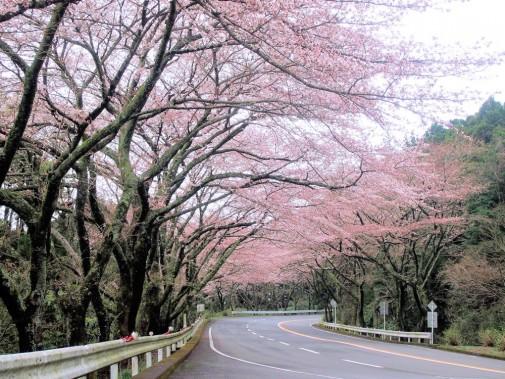 箱根ターンパイク桜
