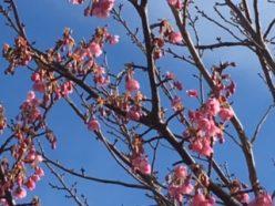 土肥桜1月9日②