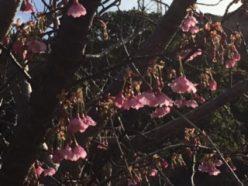 土肥桜1月9日③