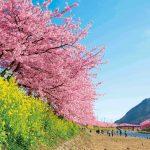 2014河津桜チラシ画像2小