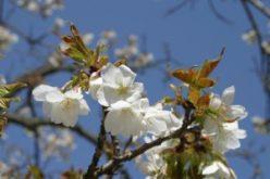 早咲き大島桜