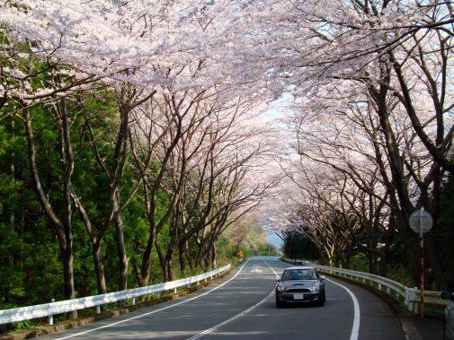 桜のトンネルMINI