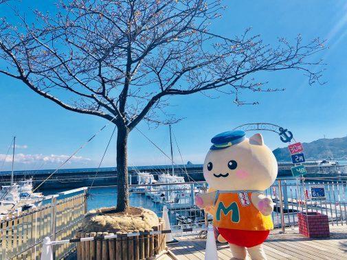 春はすぐそこ・・・河津桜を設置したにゃ。 毎日桜を見るのが楽しみにゃ。