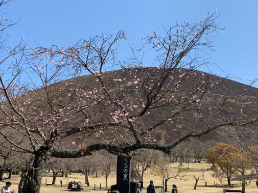 大室山桜-1