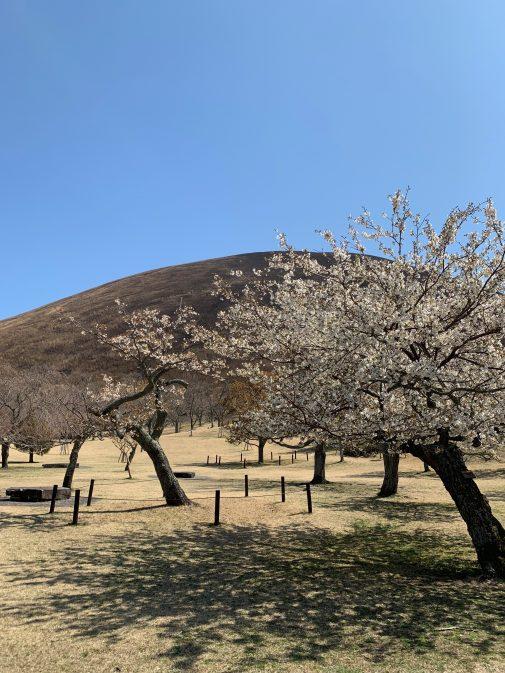 大室山桜-2