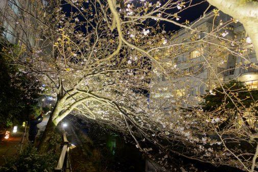 松川遊歩道の桜ライトアップ
