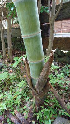 皮を脱ぎ始めた竹 (1)