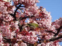熱海糸川桜 いとかわさくら