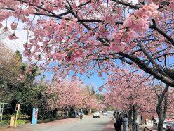 伊豆の桜情報