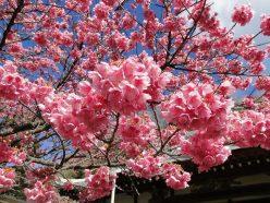 土肥桜まつり 早春に咲く桜
