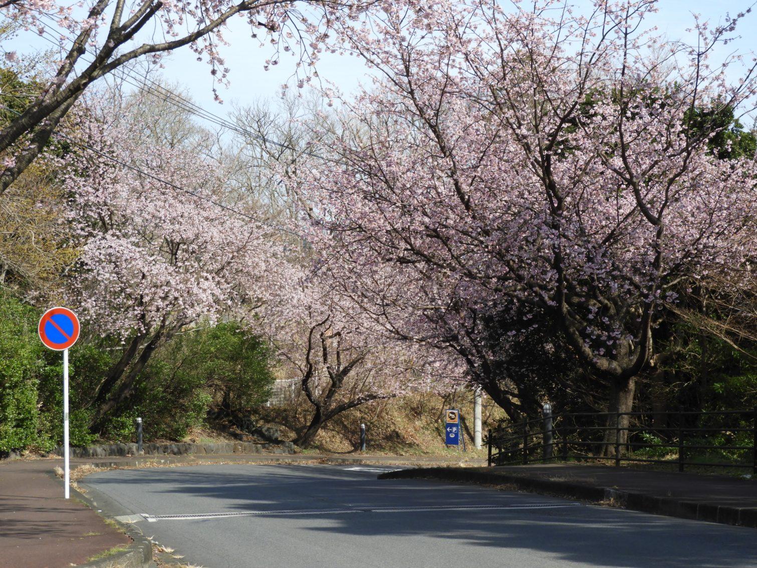 伊豆高原駅前の大寒桜2021年2月23日