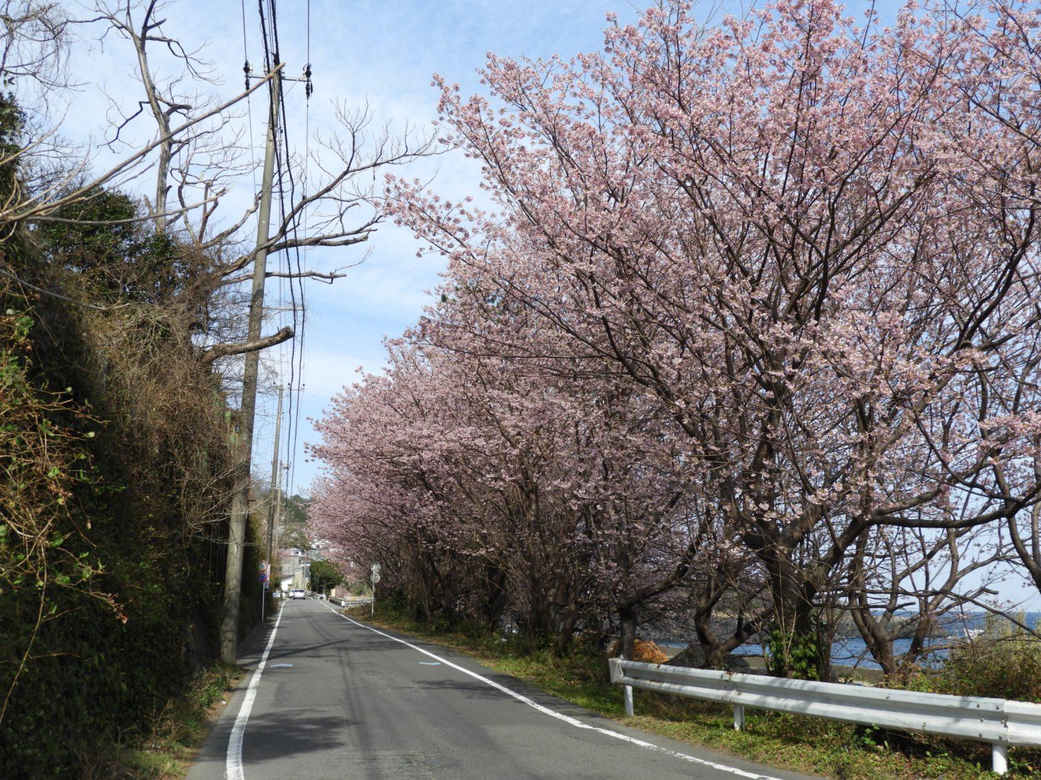 富戸港近くの城ケ崎桜開花状況2021年2月23日