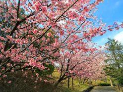 伊豆高原大寒桜