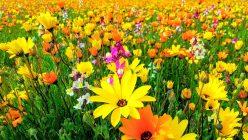 松崎町の田んぼを使ったお花畑