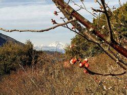 大仁梅林からの富士山
