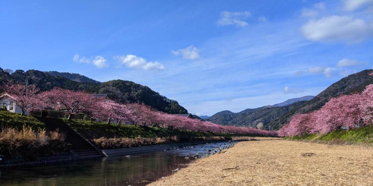 川沿いの河津桜