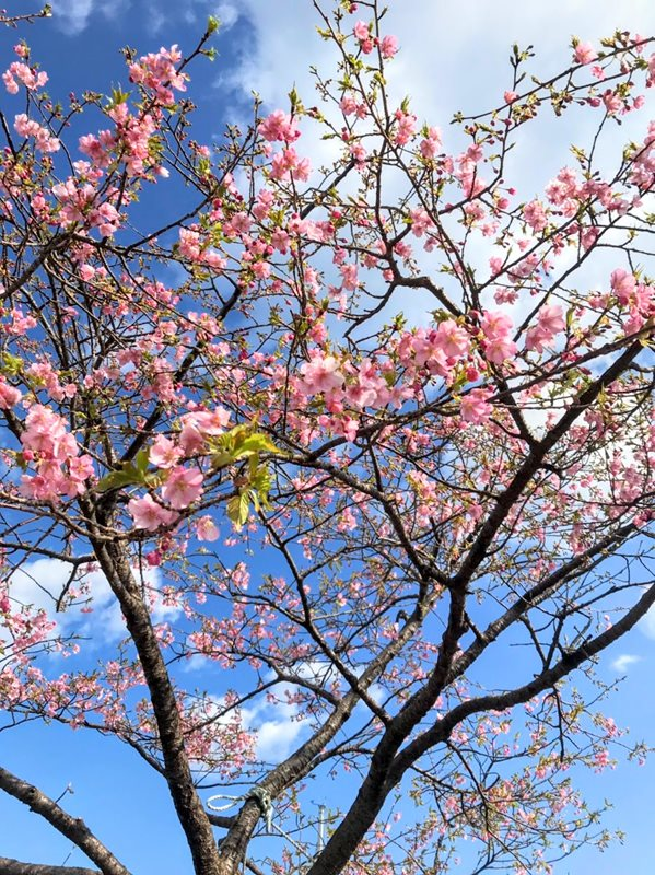 マリンタウンの河津桜