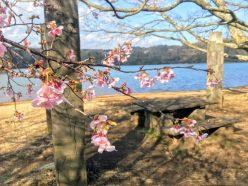 一碧湖の桜